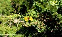 frutos, pequenas gálbulas imaturas, cipreste – Cupressus sempervirens