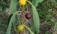 frutos diferentes fases de maturação do lódão-bastardo - Celtis australis