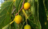 frutos imaturos do lódão-bastardo - Celtis australis
