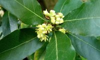 flores masculinas do loureiro – Laurus nobilis