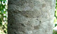 ritidoma do loureiro – Laurus nobilis