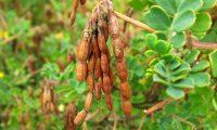 lomentos (frutos) de pascoinhas - Coronilla valentina