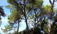 hábito de pinheiros-de-alepo – Pinus halepensis