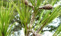 pinhas fecundadas de pinheiro-de-alepo – Pinus halepensis
