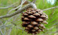 pinha de pinheiro-de-alepo – Pinus halepensis
