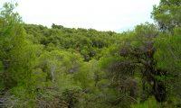 pinhal de pinheiro-de-alepo – Pinus halepensis