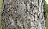 ritidoma adulto de pinheiro-de-alepo – Pinus halepensis