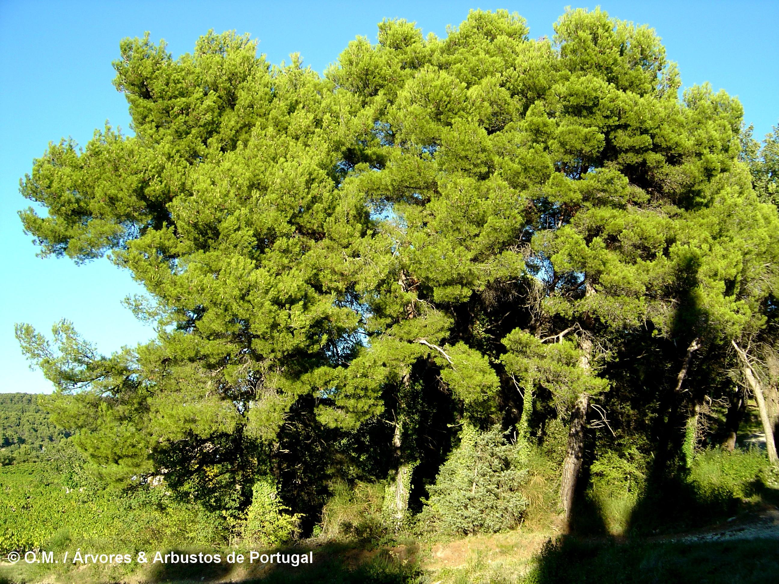 grupo de pinheiros-de-alepo – Pinus halepensis