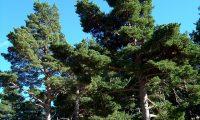 hábito montanhês de pinheiro-silvestre – Pinus sylvestris