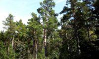 pinhal de pinheiro-silvestre – Pinus sylvestris