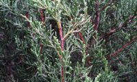aspecto da folhagem sabina-da-praia – Juniperus turbinata subsp. turbinata