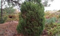 hábito arbustivo da sabina-da-praia – Juniperus turbinata subsp. turbinata