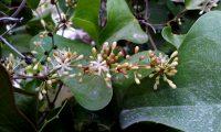 flores masculinas e botões de salsaparrilha, alegra-campo, alegação - Smilax aspera