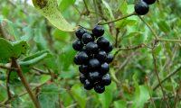 frutos de salsaparrilha - Smilax aspera