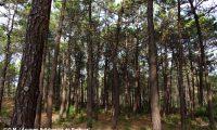 pinhal de pinheiro-bravo - Pinus pinaster