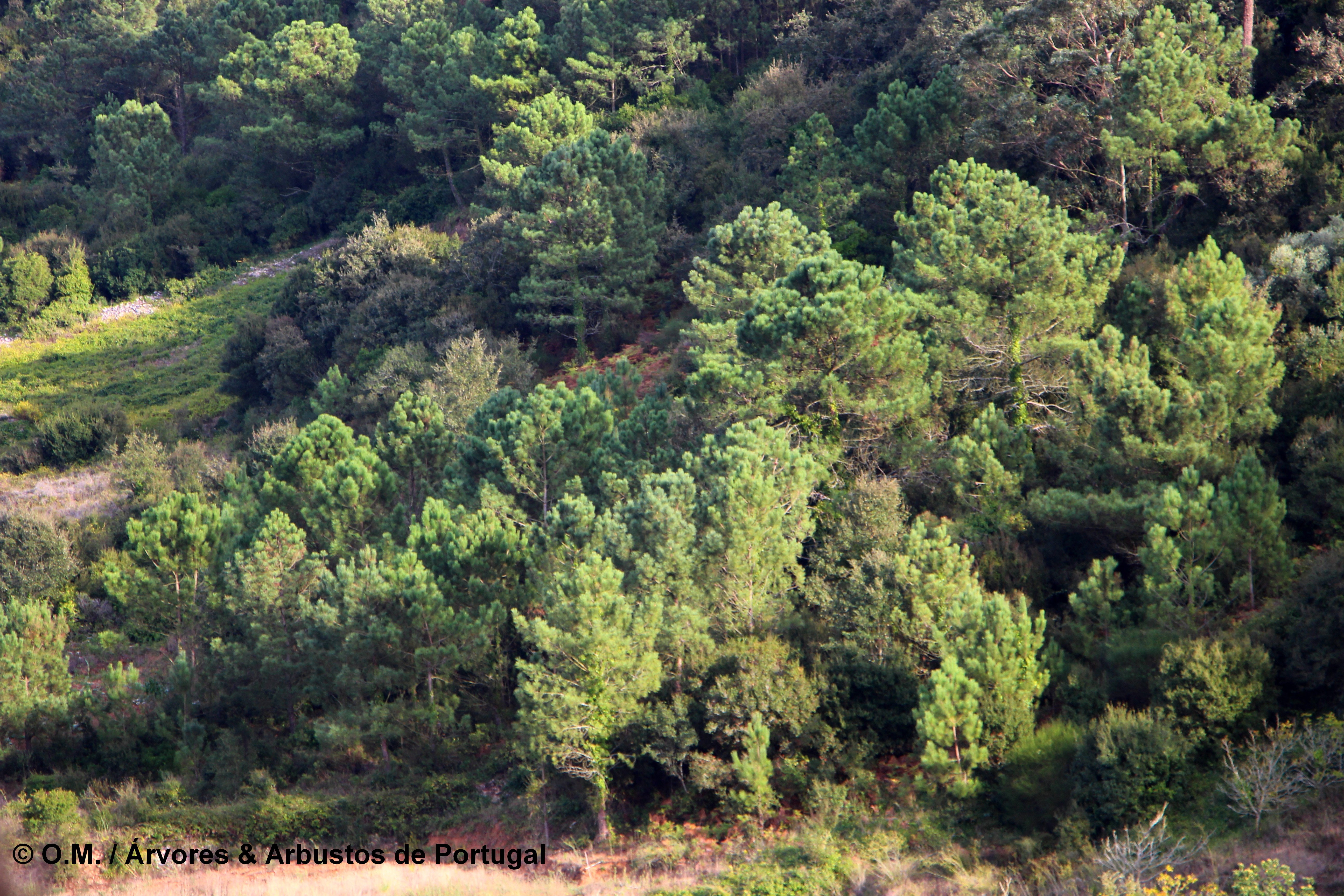 pinhal pinheiro-bravo, formação espontânea - Pinus pinaster