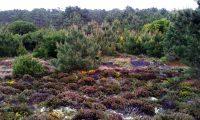 pinhal de pinheiro-bravo, parcialmente espontâneo e vegetação de solos siliciosos - Pinus pinaster