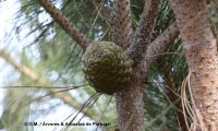 pinha imatura de pinheiro-manso – Pinus pinea