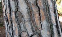 característico ritidoma de pinheiro-manso – Pinus pinea