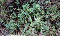 hábito rasteiro de carvalhiça - Quercus lusitanica