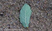página inferior de carvalhiça - Quercus lusitanica