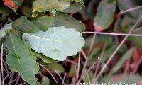 contraste de tonalidade entre página superior e inferior de carvalhiça - Quercus lusitanica