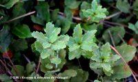 disposição das folhas de carvalhiça - Quercus lusitanica