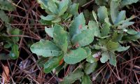 raminhos de carvalhiça - Quercus lusitanica