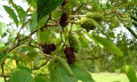flores masculinas (amentilhos verdes), femininas (amentos ovóides verdes) e frutos maduros (amentos castanhos) do amieiro - Alnus glutinosa