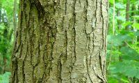 ritidoma cinzento com langas placas do amieiro - Alnus glutinosa