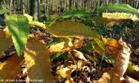 folhas outonais do castanheiro - Castanea sativa