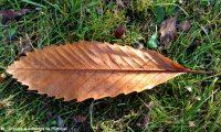 página inferior do castanheiro, reboleiro, castinceiro, Outono - Castanea sativa