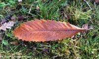 página superior do castanheiro, reboleiro, castinceiro, Outono - Castanea sativa