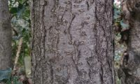 ritidoma de azevinho adulto - Ilex aquifolium