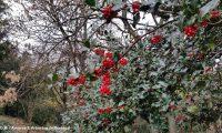 frutos e folhagem de azevinho - Ilex aquifolium