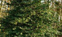 azevinho, hábito piramidal no meio florestal - Ilex aquifolium