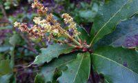 amentilhos (flores masculinas) de carvalhiça, carvalho-anão - Quercus lusitanica