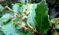 flores femininas de carvalhiça, carvalho-anão - Quercus lusitanica