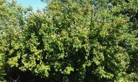 hábito de aveleira – Corylus avellana