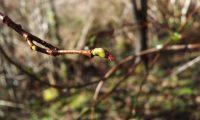 flor feminina de aveleira, avelaneira, avelãzeira – Corylus avellana