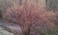 hábito invernal de aveleira – Corylus avellana