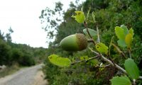 glande imatura de carrasco – Quercus coccifera