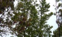 aspecto hábito jovem de dois tis, na Laurissilva madeirense - Ocotea foetens