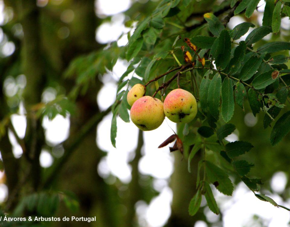 frutos, sorvas maduras de sorveira, sorva – Sorbus domestica