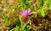 abertura das flores de lava-pé, viomal – Cheirolophus sempervirens
