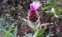 desabrochar das flores de lava-pé, viomal – Cheirolophus sempervirens