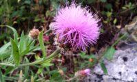 farfalhudo captítulo de lava-pé, viomal – Cheirolophus sempervirens