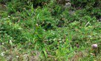 hábito de lava-pé, viomal – Cheirolophus sempervirens