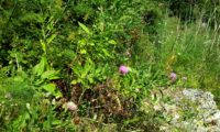 lava-pé ou viomal, rodeado de erva-doce ou funcho – Cheirolophus sempervirens