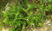 viomal num declive – Cheirolophus sempervirens